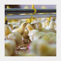 chicks-framed